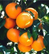 201110241144422_mandarin_orange