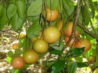 grapefruit_ebola_jpeg_1500x