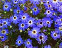 chamomile-blue-oil-500x500