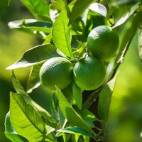 lime-essential-oil-distilled-limdispmd