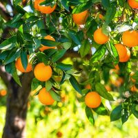 orange-essential-oil-sweet-organic-orsworgpmd