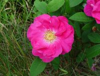 rosa-gallica-fl-ahaines-b