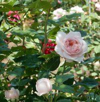 rose-leaf-absolute