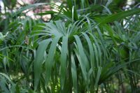 cyperusscariosus_6259